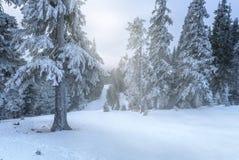 Pinetrees avec la neige illuminée avec des rayons de soleil en hiver Photo stock