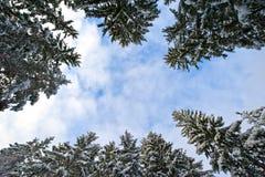 Pinetrees de Milou Photographie stock libre de droits