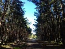Pinetrees lindos Fotografia de Stock