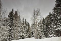 PineTrees no ajuste do inverno Fotografia de Stock