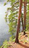 Pinetrees sulla riva del lago in estate fotografie stock libere da diritti