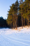 Pinetrees winter landscape Royalty Free Stock Photography