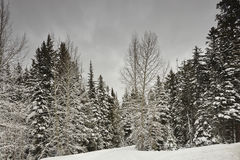 PineTrees In Winter Setting Stock Photography