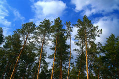 Pinewood. Sunny pinewood. The forest landscape Stock Photography
