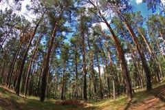 Pinewood Imagem de Stock