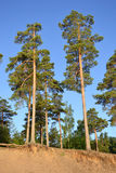 Pinewood. Summer in pinewood with blue sky, Russia Stock Photo