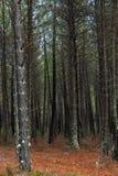 Pinewood Στοκ εικόνες με δικαίωμα ελεύθερης χρήσης