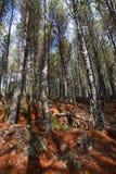 Pinewood Στοκ Φωτογραφία