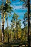 pinewood Obrazy Stock