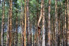 pinewood Arkivbilder