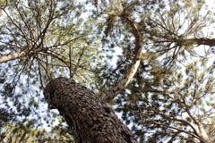 pinewood Стоковые Изображения RF