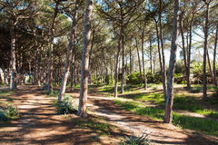 Pinewood. In Alghero in Sardinia Stock Photography