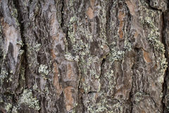Pinewood bark. Rough bark of a pinewood Royalty Free Stock Photography