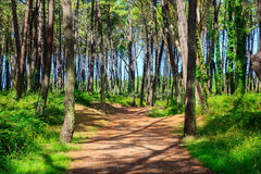 Pinewood in Cantabria Stock Image