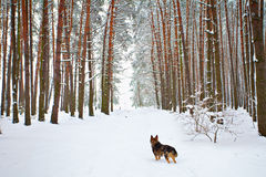 Pinewood cowered with snow. Dog standing on the road in a snowy pine forest royalty free stock image