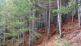 Pinewood forest in italy Royalty Free Stock Image