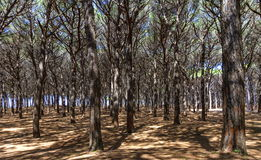 Pinewood forest, Cecina, Tuscany, Italy Stock Images