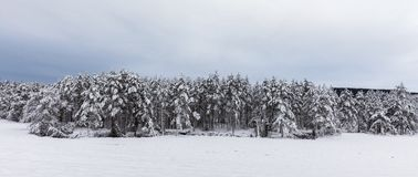 Snow covered Scandinavian pinewood forest with pine trees, Pinus sylvestris. Pinewood forest in Evje, Norway. Pine trees, Pinus sylvestris, covered in snow Stock Photos