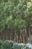 Pinewood forest with hydrangeas bushes in Sao Jorge island. Azor Royalty Free Stock Images