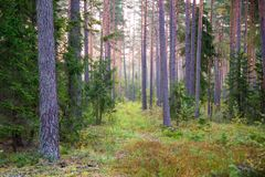 Pinewood in early fall Stock Photos