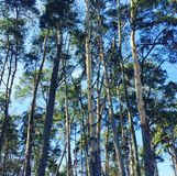 Pinewood forest. Pine trees forest in Poland Stock Photos