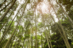 Pinewood forest scenery Stock Photography