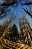 Pinewood forest Royalty Free Stock Photography