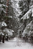 Pinewood forest in winter. Russia. Royalty Free Stock Image
