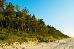 Pinewood growing on dunes at Baltic coast. Scots or Scotch pine Pinus sylvestris trees in evergreen coniferous forest. Stegna, Pomerania, northern Poland Royalty Free Stock Images