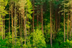 Pinewood. Royalty Free Stock Images