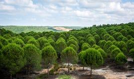 pinewood Landskap av Turkiet Royaltyfri Foto