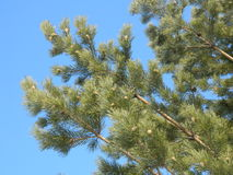 Pinewood. Pine branch on a background of blue sky Royalty Free Stock Image