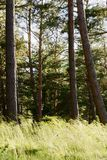 Pinewood with pine tree trunks and grass growing in forest understory. Scots or Scotch pine Pinus sylvestris trees in evergreen coniferous woodland. Pomerania Royalty Free Stock Photos