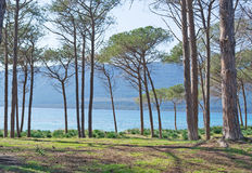 Through the pinewood. Pinewood by the sea in Mugoni beach Royalty Free Stock Image