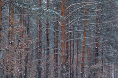 Pinewood after the snowfall Stock Photography