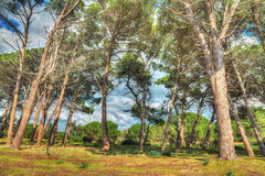 Pinewood under a cloudy sky in Mugoni in hdr Stock Images