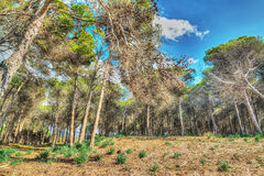Pinewood under a cloudy sky in Mugoni Stock Images