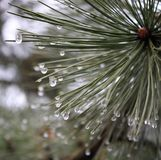 Pinewood with waterdrops. In a forest royalty free stock photos