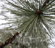 Pinewood with waterdrops. In a forest stock photo