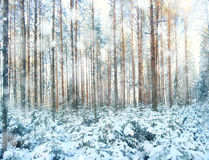 Pinewood wide panorama winter Stock Photography