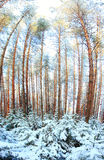 Pinewood wide panorama winter Royalty Free Stock Photos