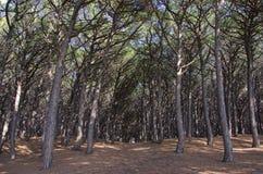 pinewoods Fotografering för Bildbyråer