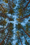 Pinewoods Under Blue Skies Stock Images