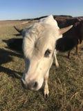 Pineywoods Bull de un año foto de archivo libre de regalías