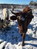 Pineywoods bydło w śniegu zdjęcie stock