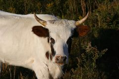 Pineywoods Cattle Bull. Rare heritage breed Pinewoods cattle spotted bull grazing in pasture royalty free stock image