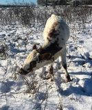 Pineywoods Cattle in Snow. Heritage breed Pineywoods Cattle in snowy pasture royalty free stock image