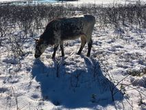 Pineywoods Cattle in Snow. Heritage breed Pineywoods Cattle in snowy pasture royalty free stock photo