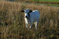 Pineywoods Cattle Spotted Red Heifer. Rare heritage breed Pinewoods cattle spotted heifer grazing in pasture stock photo