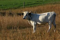 Pineywoods Cattle White Spotted Bull. Rare heritage breed Pinewoods cattle red heifer grazing in pasture royalty free stock image
